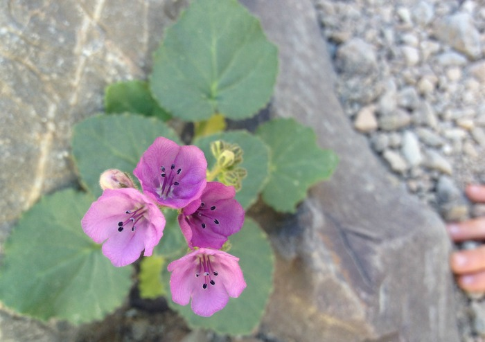 Pink flowers growing out of a rock in Death Valley, California.