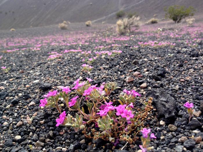 Superbloom wildflowers in Ubehebe Crater in Death Valley, CA