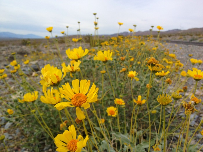 Yellow daisies are a Death Valley attraction.