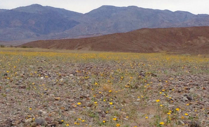 A field of yellow in Death Valley, California.