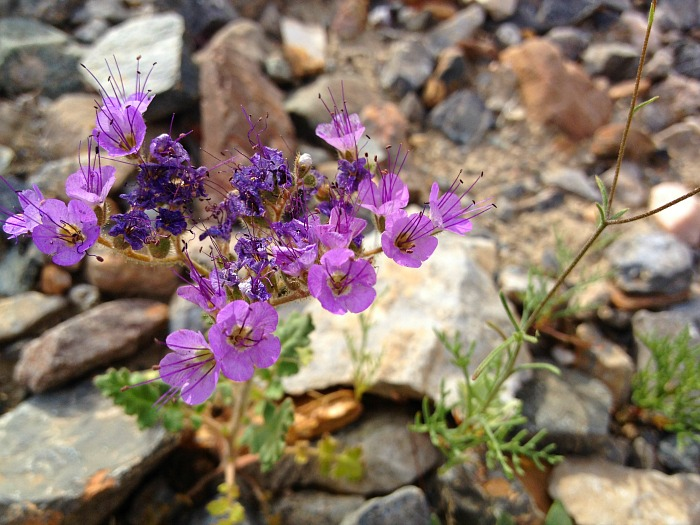 Delicate flowers in Death Valley's desert during a Superbloom.