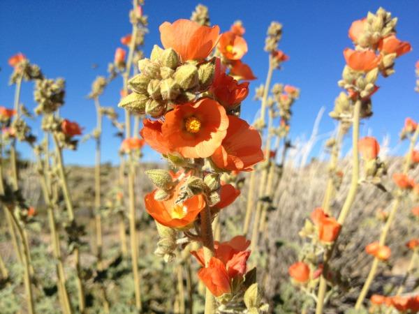 Desert wildflowers, globe mallow