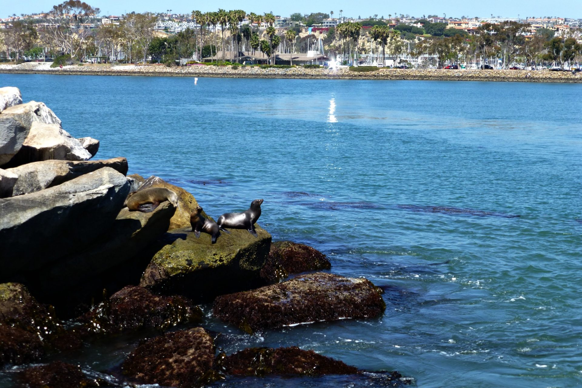 Sea lions on the rocks at Dana Wharf.