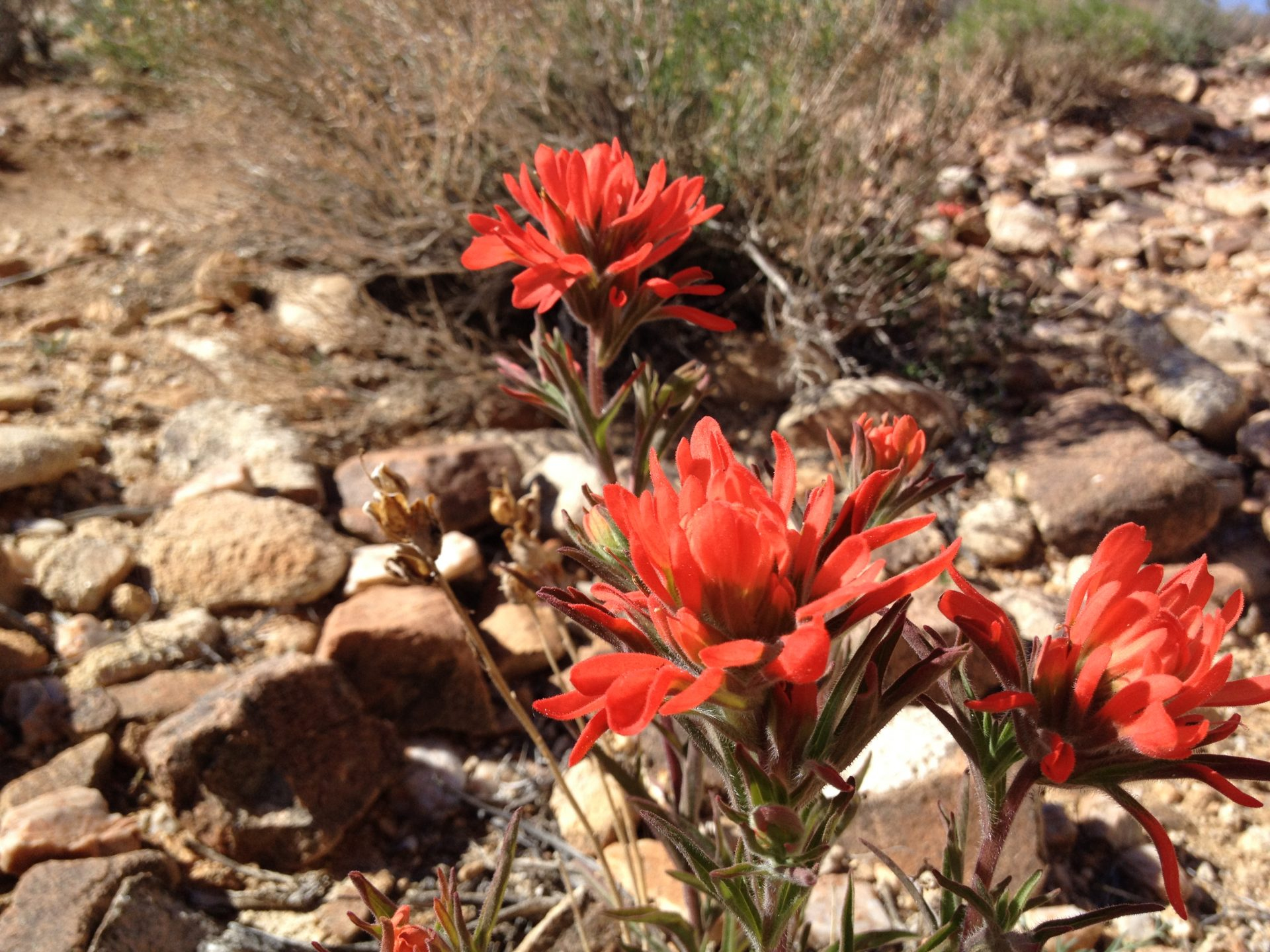 Paintbrush wildflower in the Mojave Desert, Joshua Tree National Park