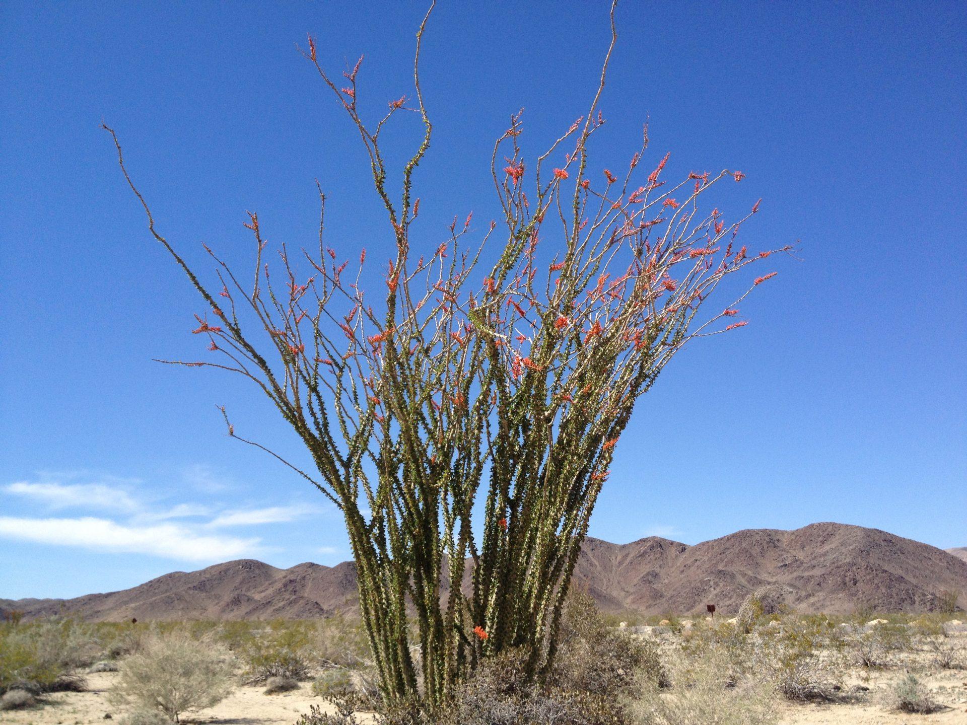 Ocatillo desert flowers
