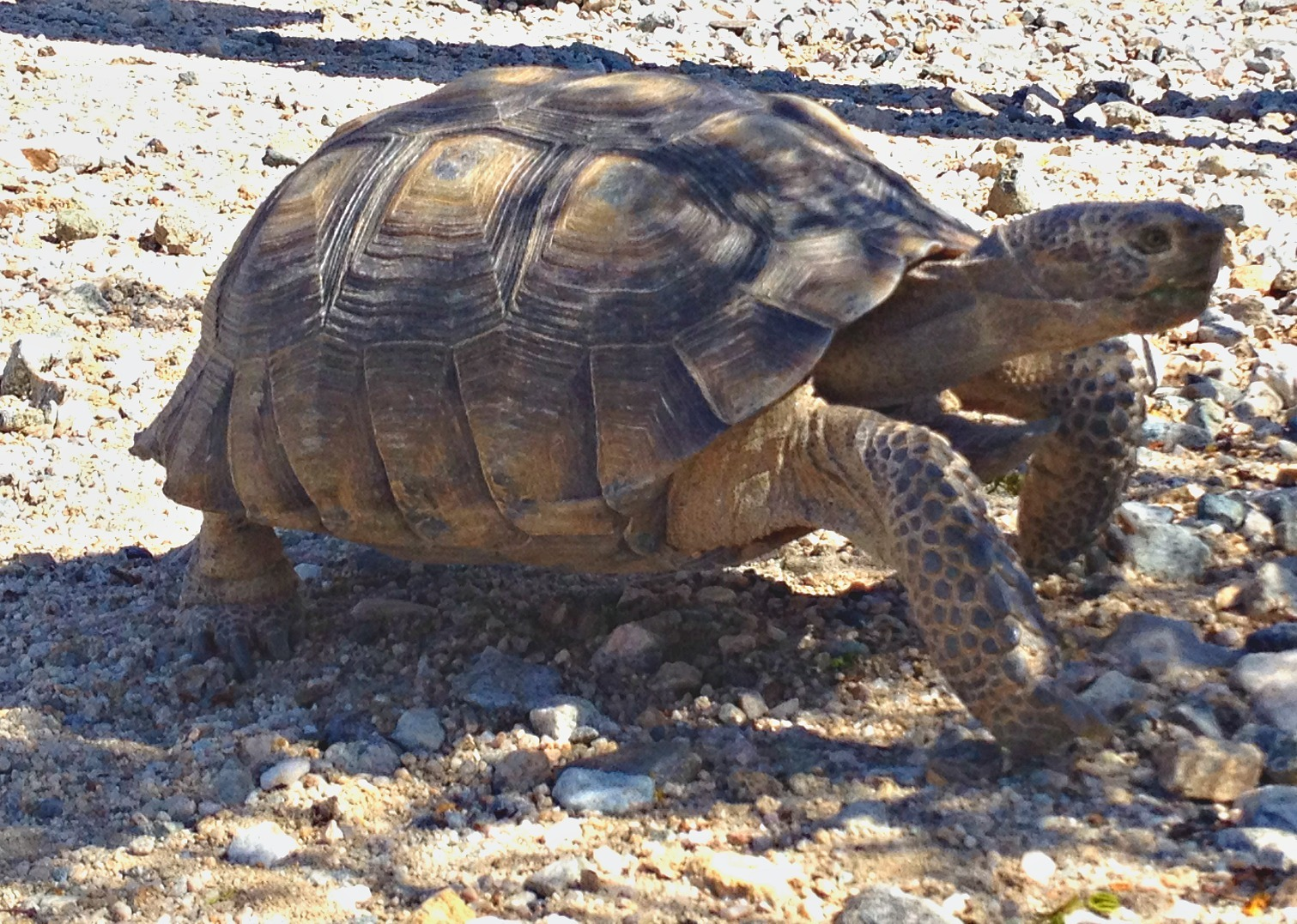 Desert tortoise at the Cholla Cactus Garden, Joshua Tree