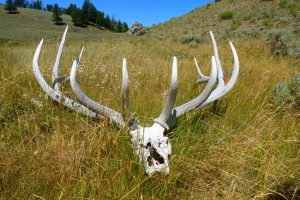 Horseback riding in Yellowstone National Park with Wilderness Pack Trips we found an elk skull and antlers