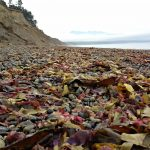 Red and yellow seaweed or kelp on the Puget Sound Beach on the Olympic Peninsula