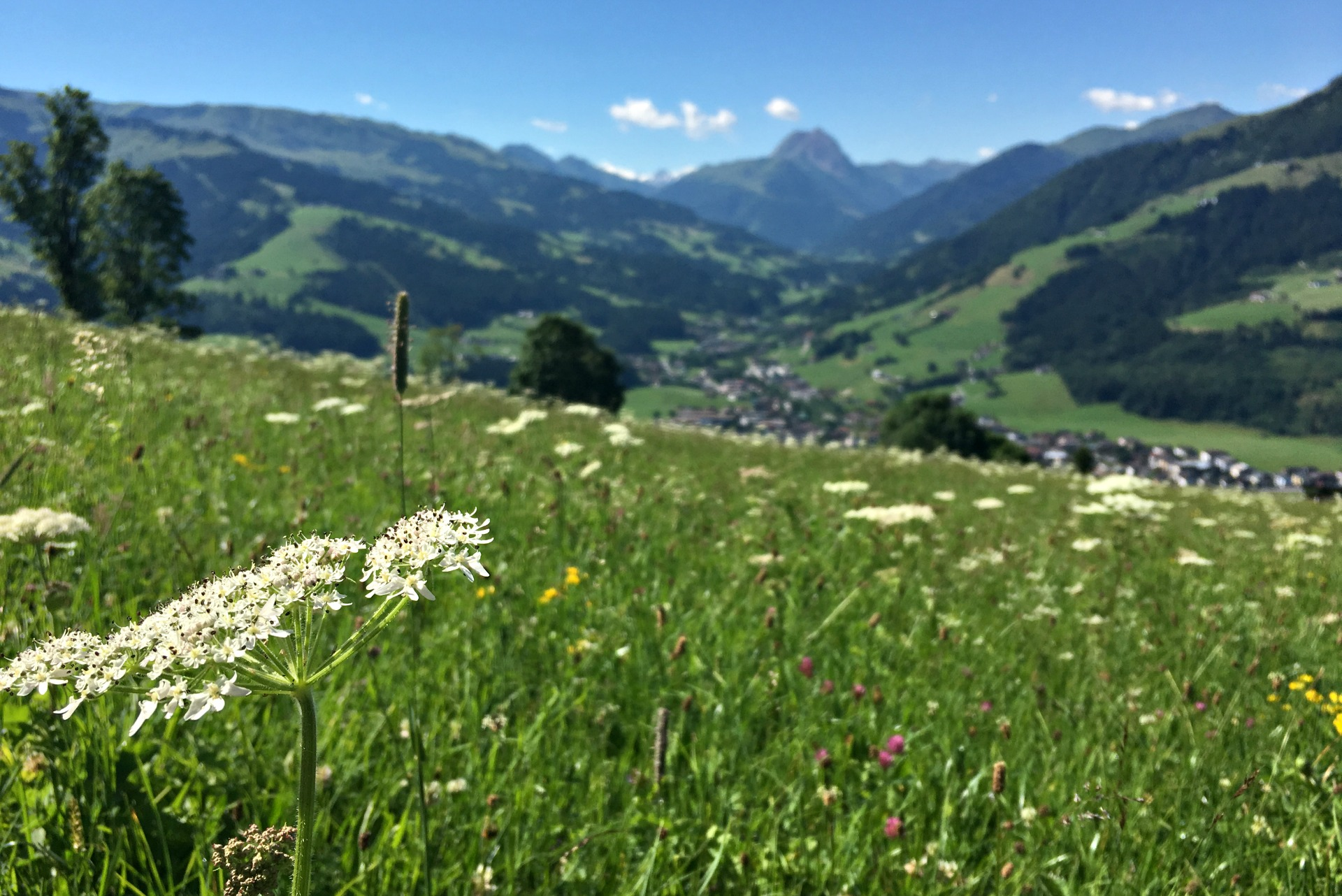Queen Anne's Lace and Austrian mountains