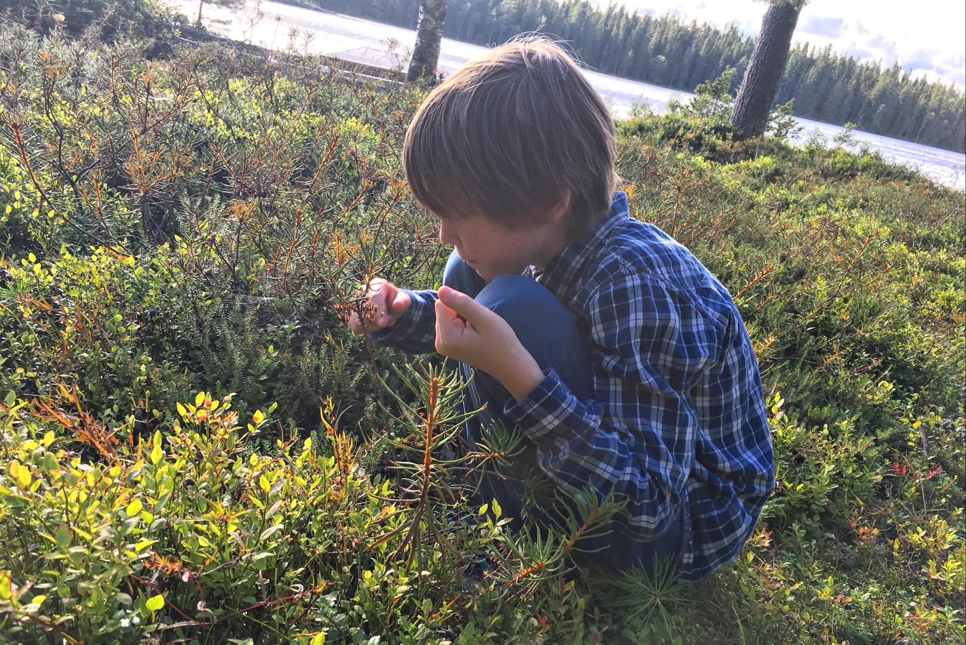 Picking blueberries in Sweden.