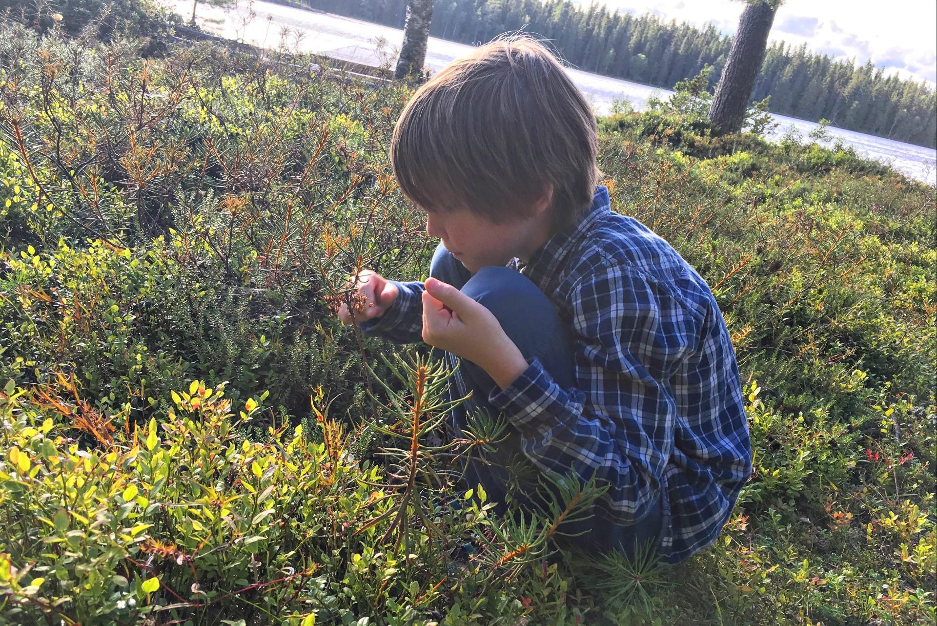 Picking blueberries in Sweden.