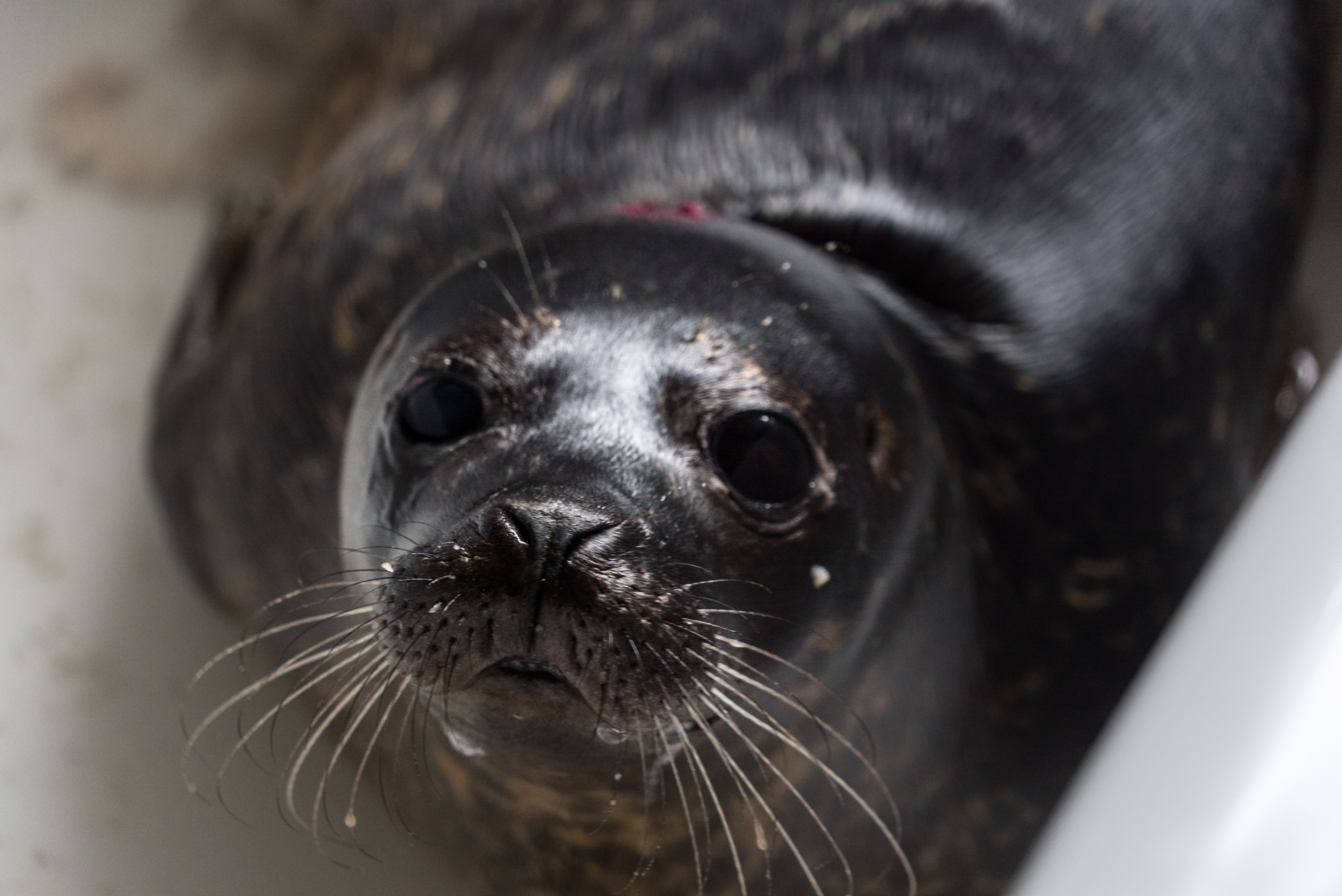 Irish seal sanctuary volunteer