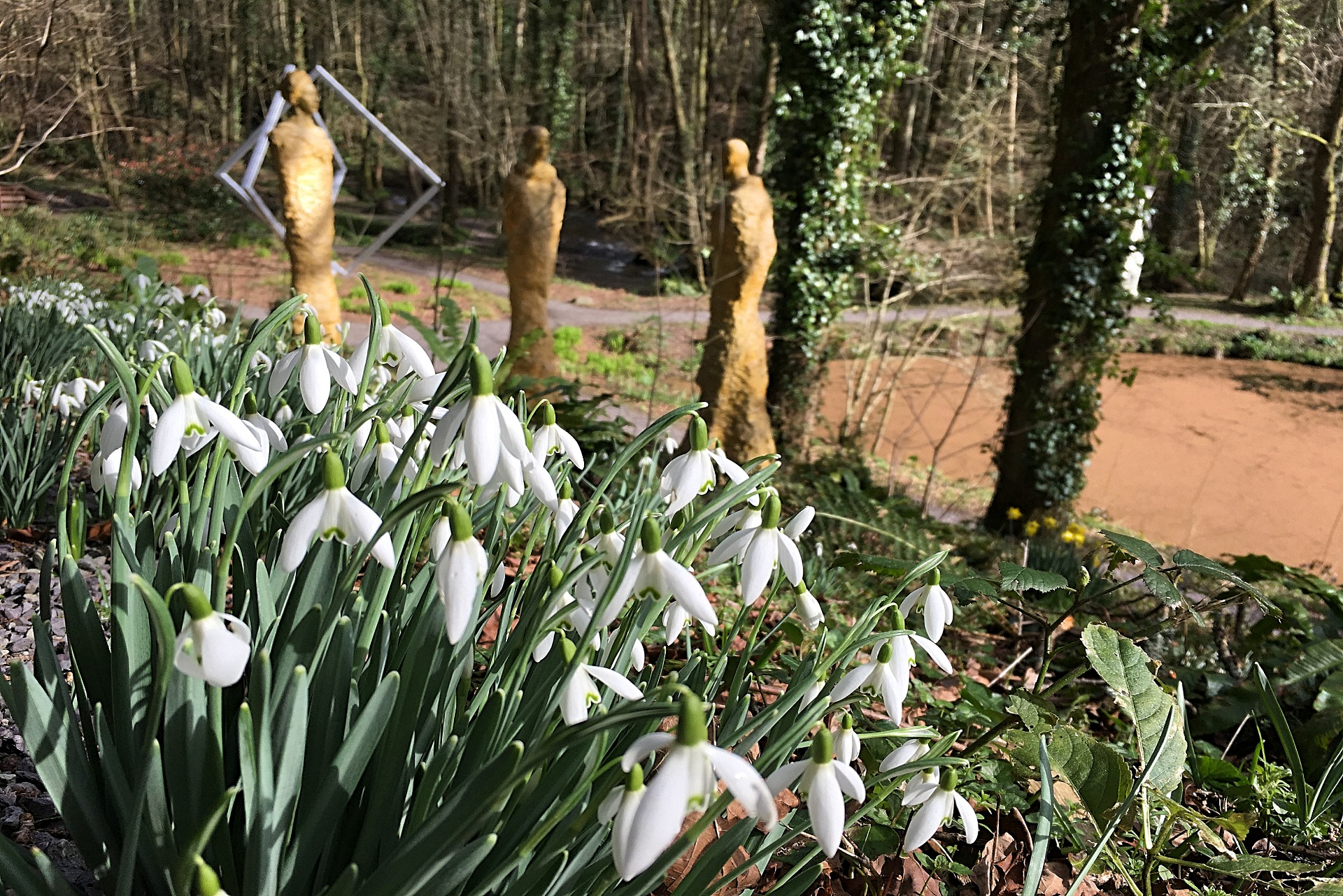 Snowdrops in Broomhill Sculpture Garden