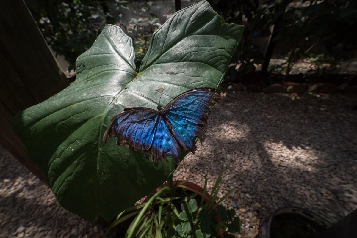 blue butterfly in Belize jungle