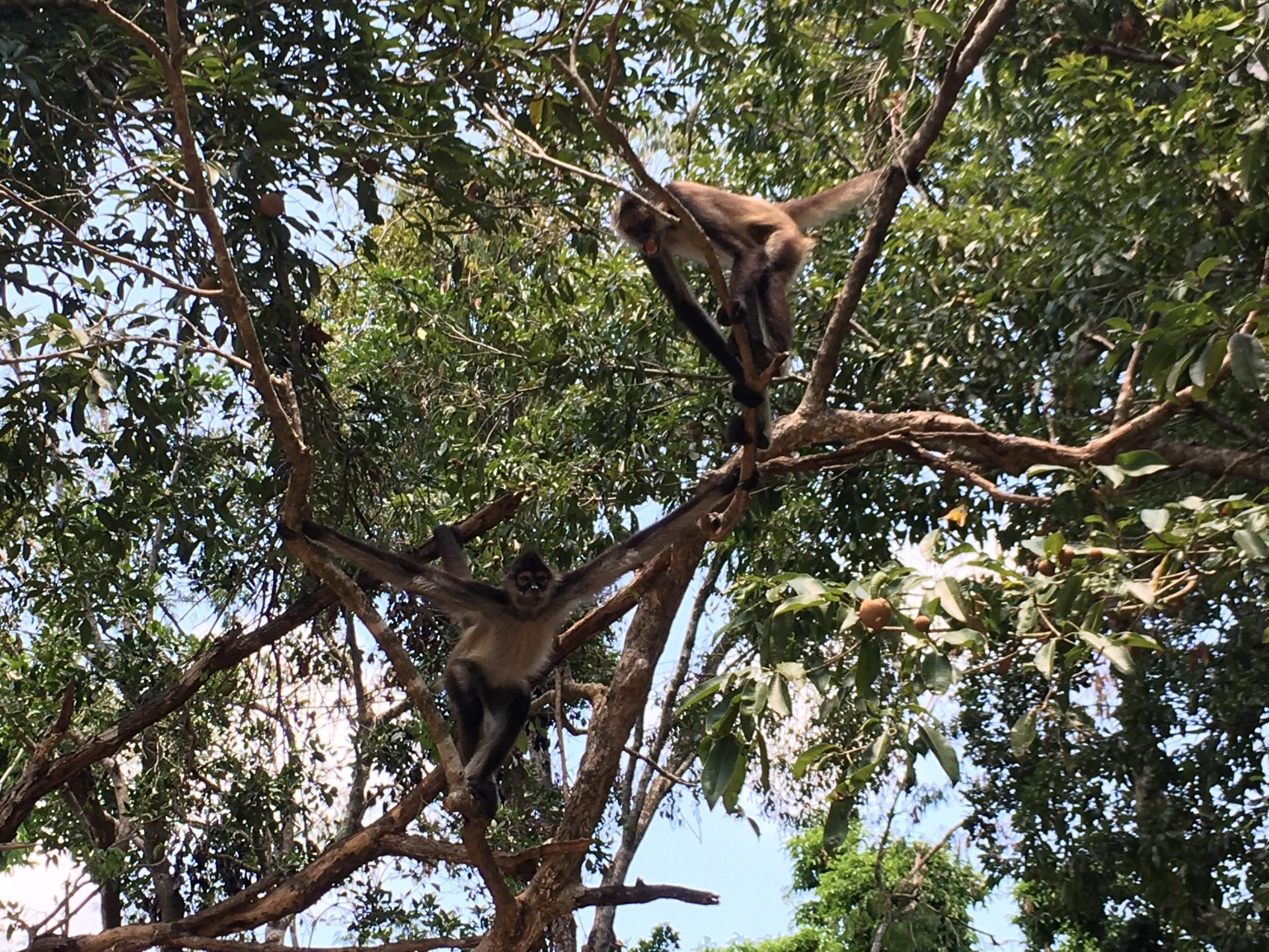 spider monkeys in Mexico