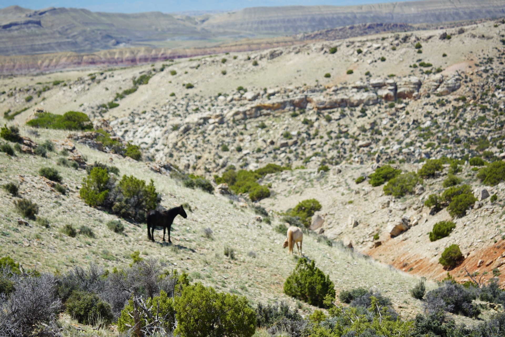 wild horses in the pryor mountains