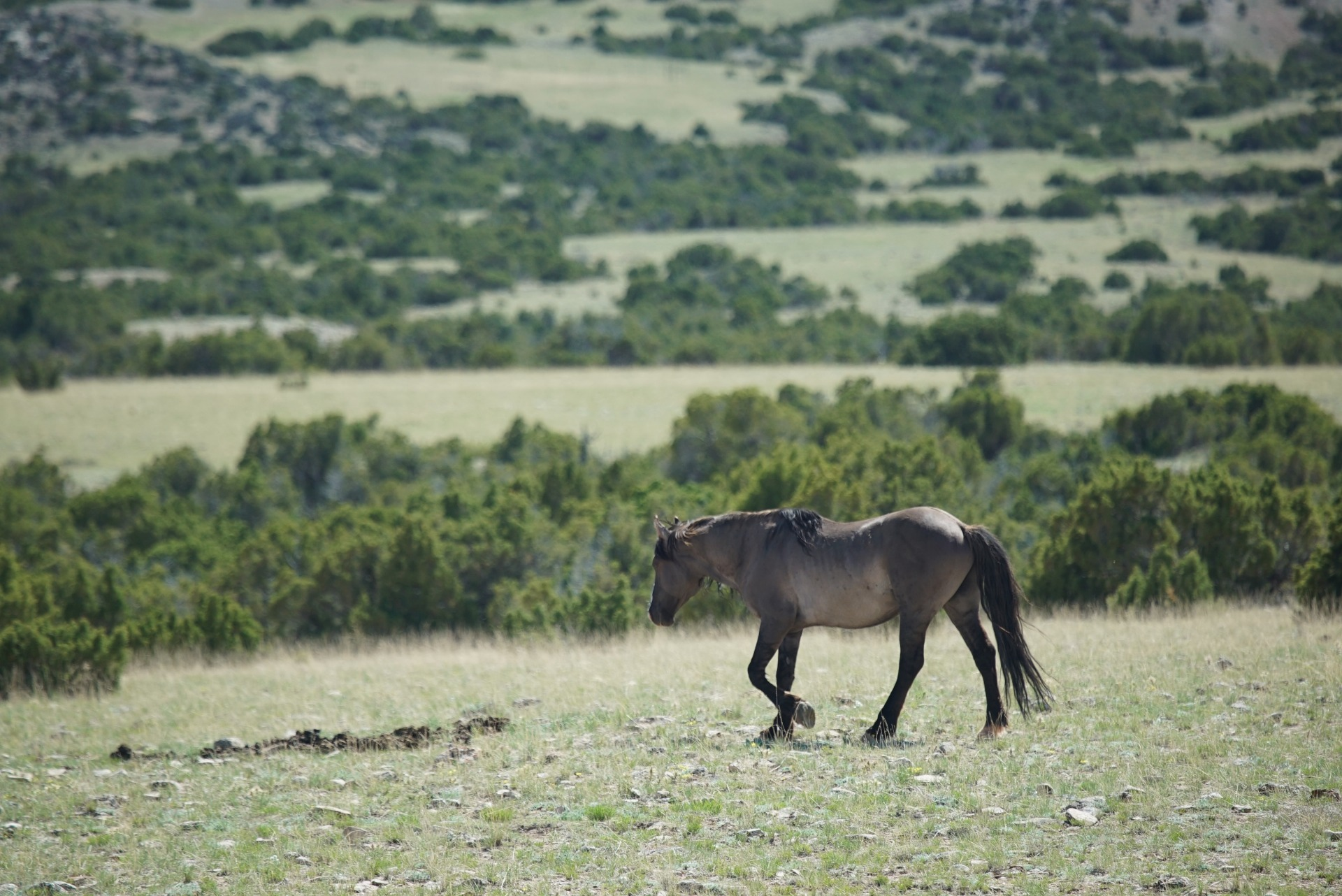 wild horse in the pryor mountains montana and wyoming