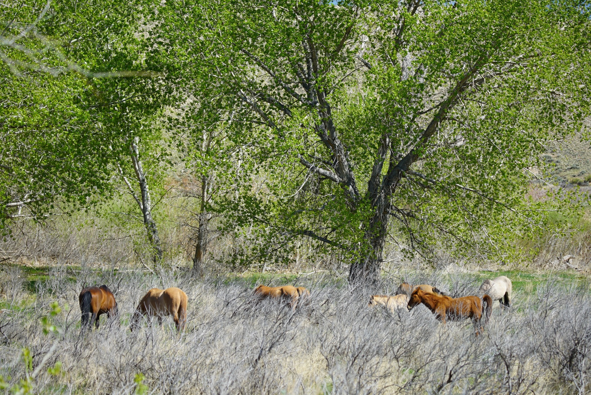 wild mustangs at the wild horse refuge