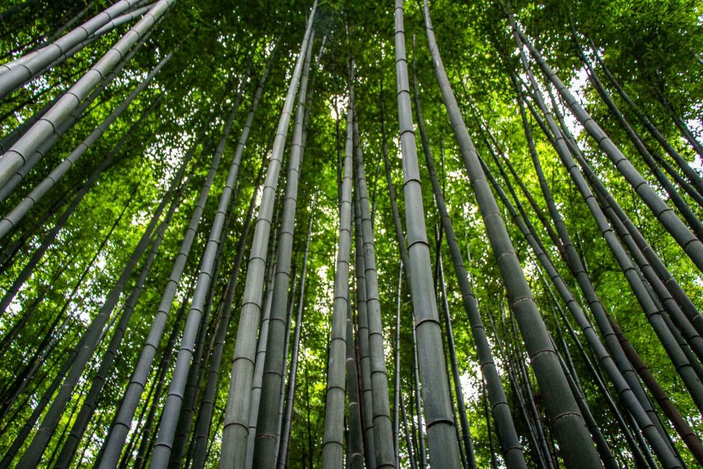 Arashiyama Bamboo Forest (1) Kyoto Family Can Travel