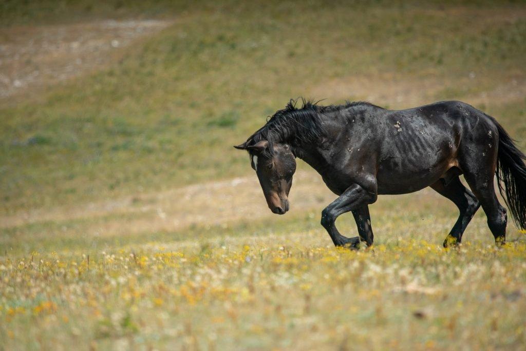 wild montana horse
