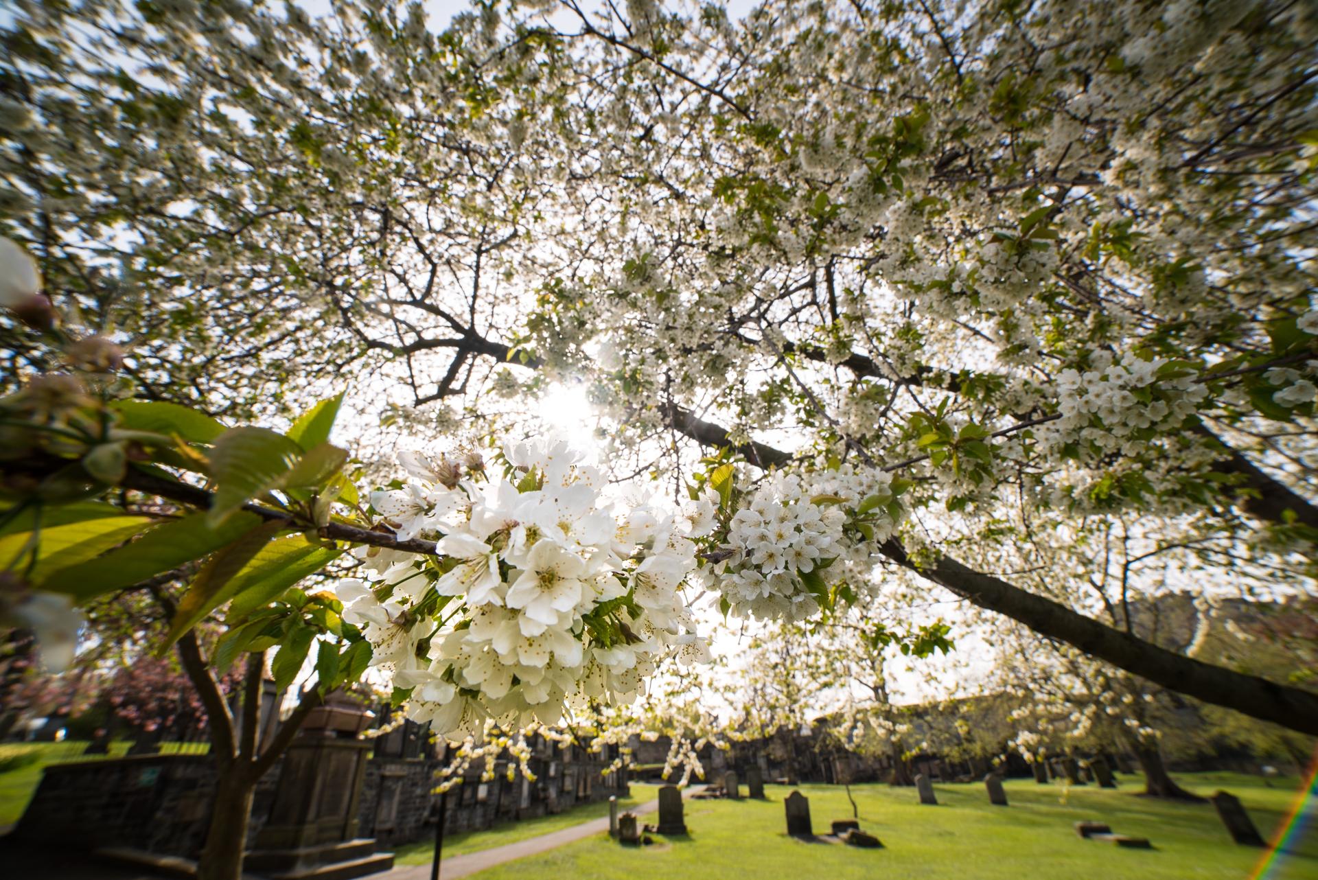 Spring blossoms in Greyfriar's Kirkyard
