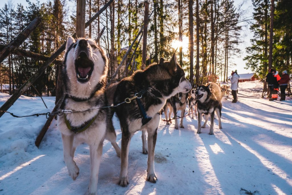 black and white dog sled huskies