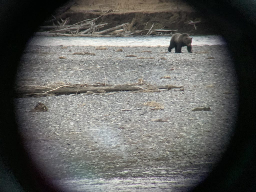 grizzly bear through a spotting scope