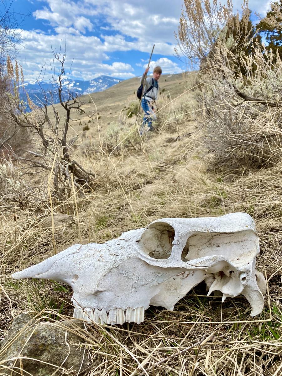 elk skull on trail