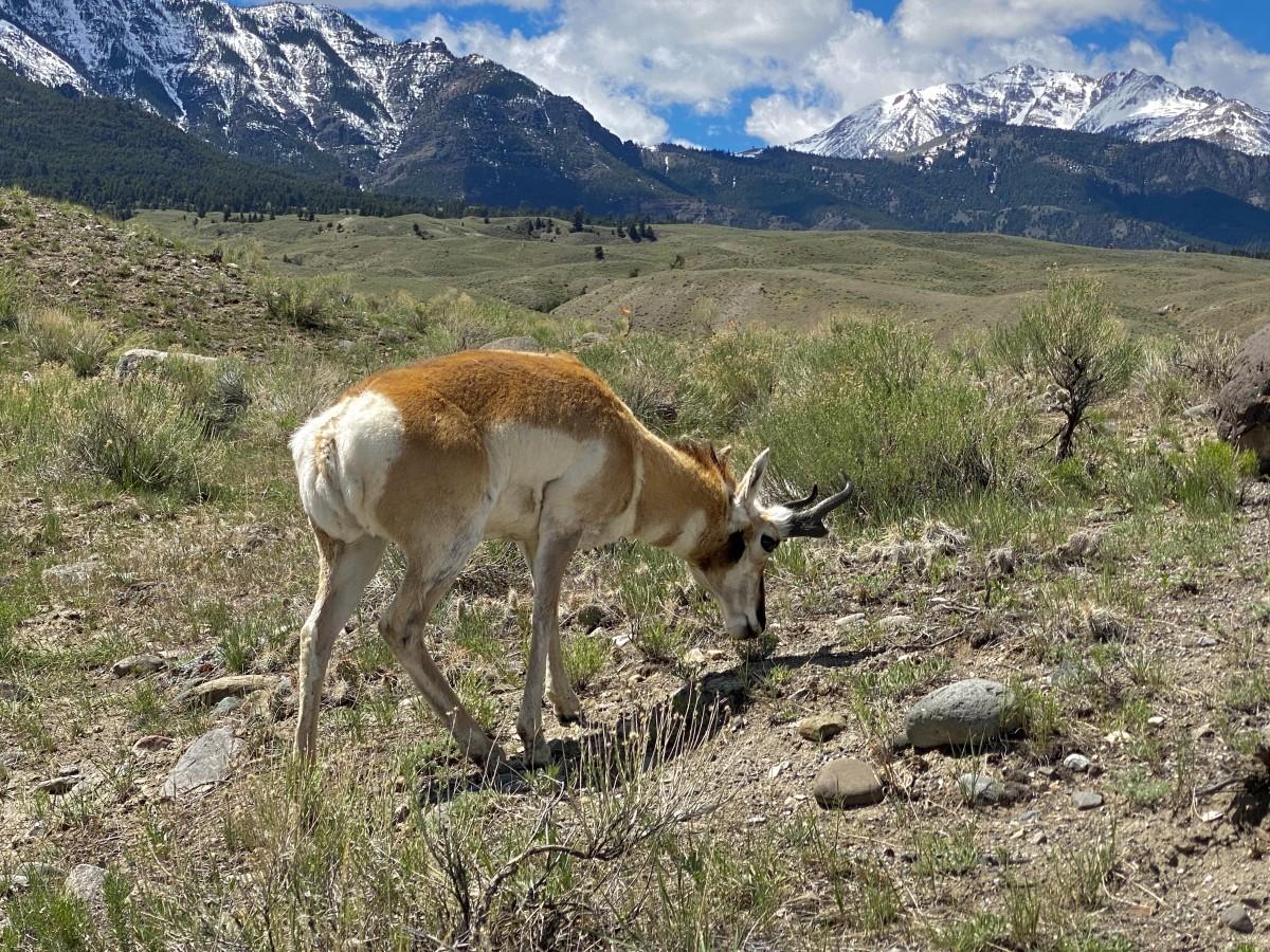 pronghorn antelope grazing in Yellowstone