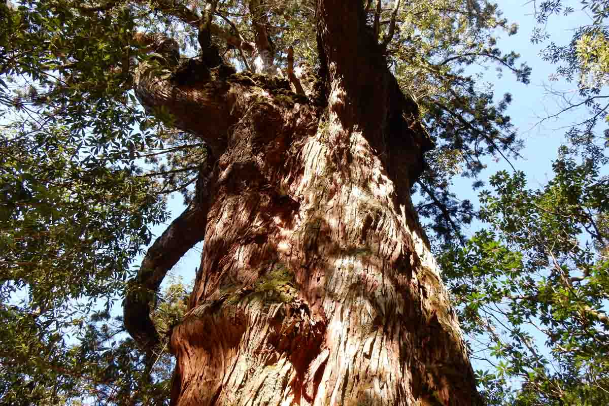 cool places in Japan include the world's oldest tree