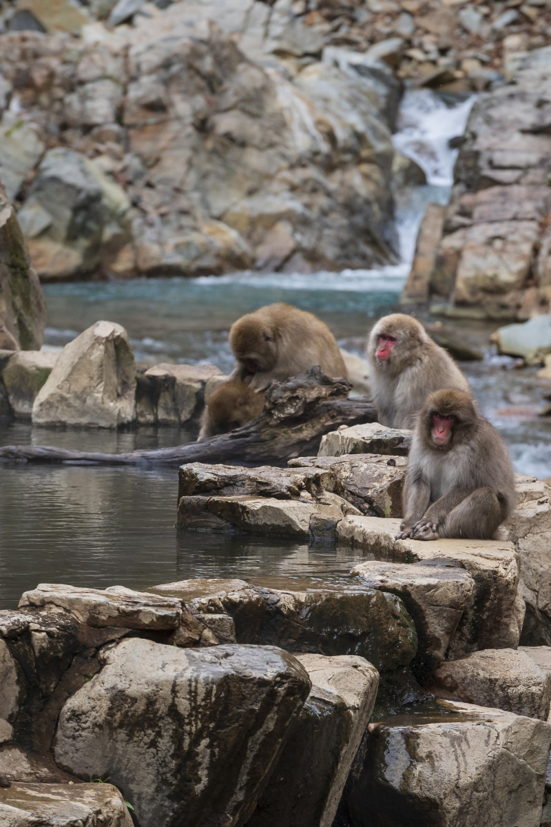 where to see snow monkeys in Japan