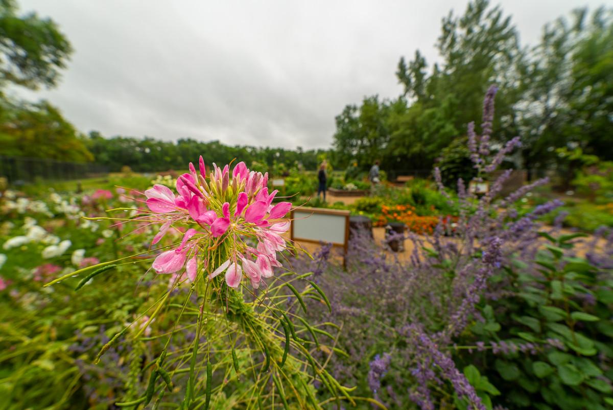pink flowers at botanic garden