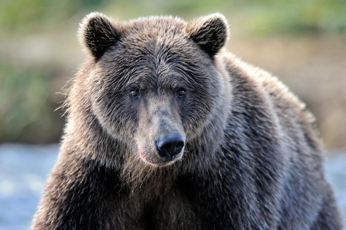 grizzly bear at Alaska wildlife conservation center