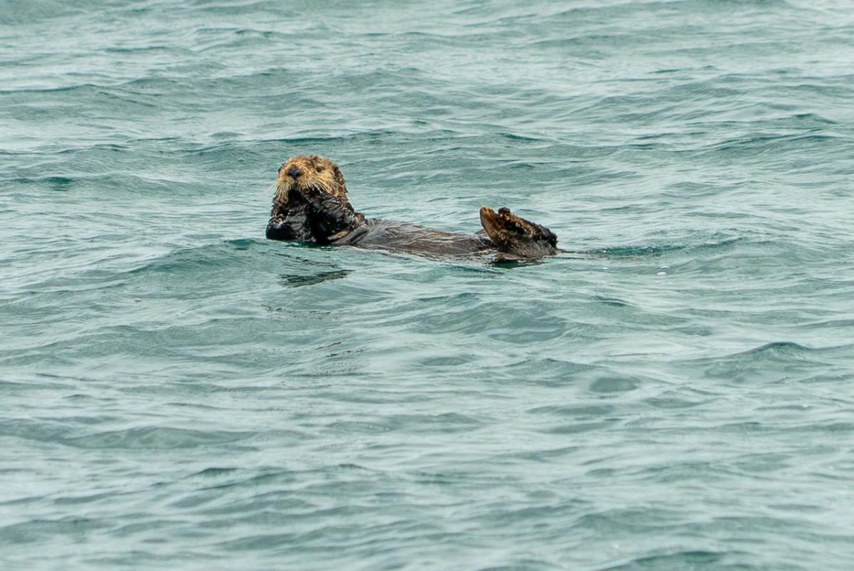 sea otter in Resurrection Bay Seward alaska