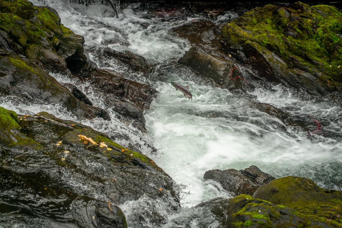 salmon spawning in Russian River near Anchorage